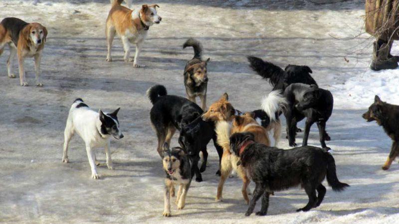 Сорочинцы жалуются на бродячих собак