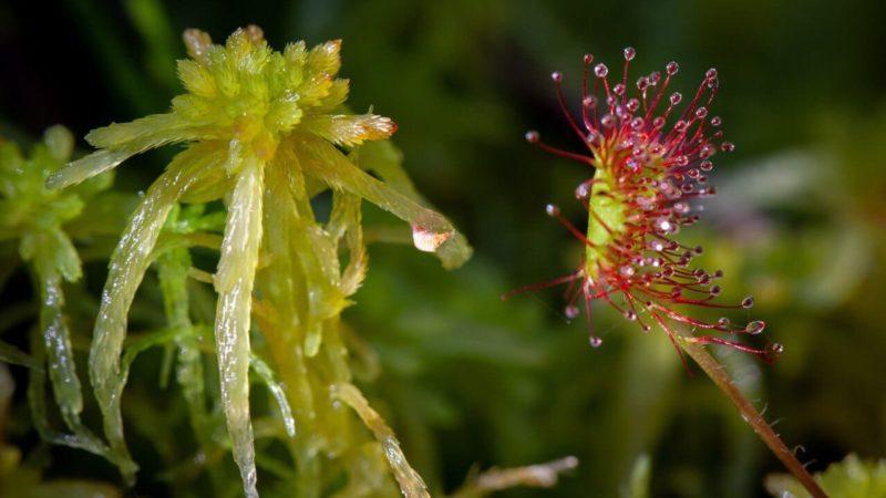 В Бузулукском бору обнаружили редкое хищное растение