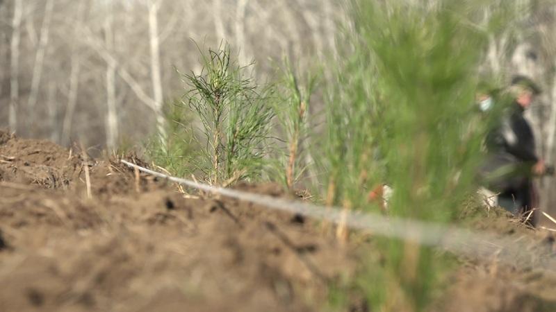 «Сохраним лес»: в Оренбуржье высадят более 270 тысяч деревьев