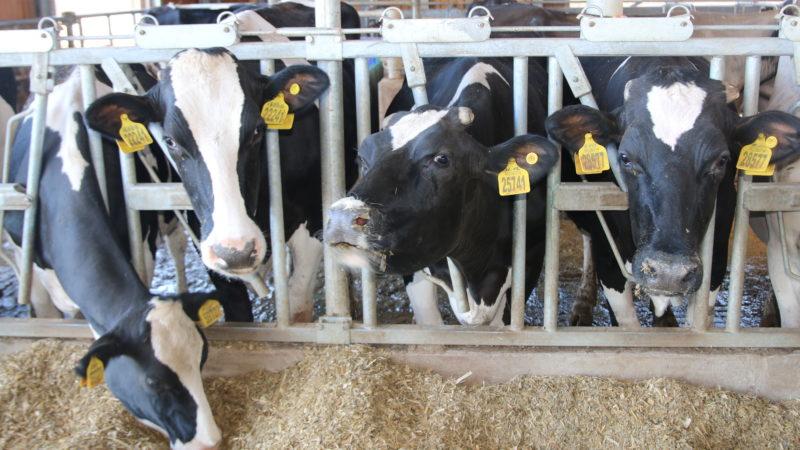 Сельхозтоваропроизводители смогут получить компенсацию затрат за реализованный молодняк КРС