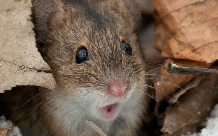 Роспотребнадзор: В Оренбуржье на 40% снизилась заболеваемость «мышиной лихорадкой»