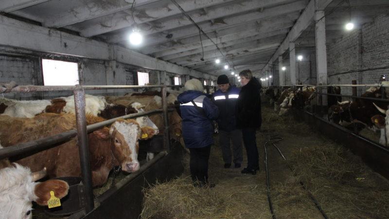 Зима – время отёла коров